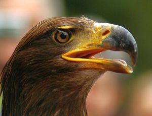 Adler aus Hellentahl zu gast in der Kölner Flora