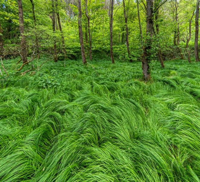 Sumpfgras am Sengbach