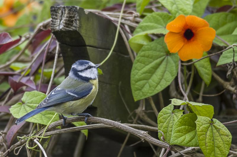 Blaumeise bewundert Blume