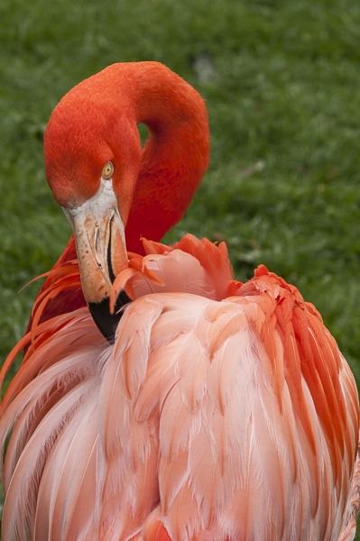 Flamingo im Kölner Zoo