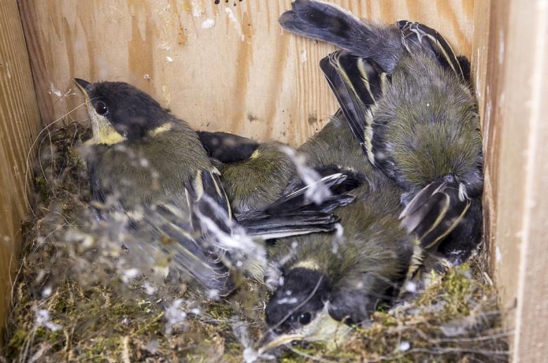 Meisen im Nest